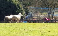Schafe blicken auf Hühnerauslauf